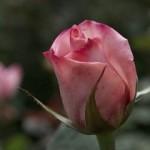 В Николаеве цветут розы, в Мукачево – сакура