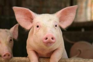 Россия запретила ввоз украинской продукции из свинины