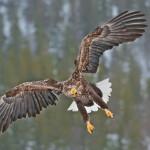 На Хортице спасли редкого орлана-белохвоста