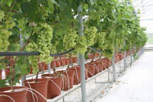 Капельное орошение виноградников и другие способы полива